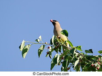 Cedar waxwing eating berry