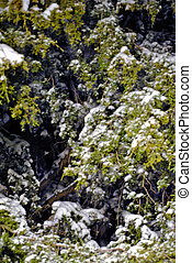 Cedar with snow