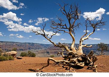 cedertræ, ryg