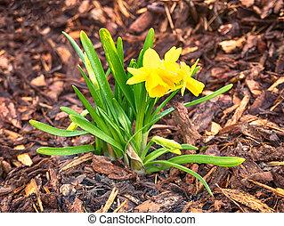 cedo, crescendo, flor, amarela, springtime