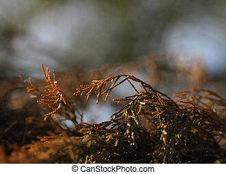 cedr, gałęzie, tło, upadek