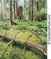 cedro, albero, profondo, foresta, verde, muschio, coperto, crescita, foresta tropicale hoh