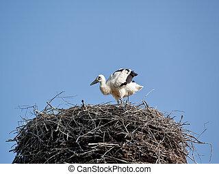cegonha, bebê, ninho, branca, pássaros