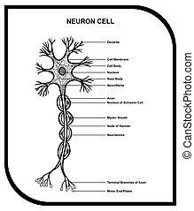 cel, anatomie, neuron, diagram, menselijk