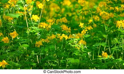 wood - celandine growing in the wood