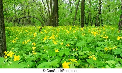 celandine in the spring wood