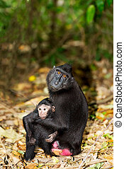 Celebes crested macaque as black monkey, mother with baby, ...