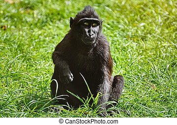Celebes Crested Macaque (Macaca nigra) on the Grass