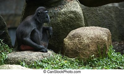 Celebes Crested Macaque rests at noon in the shade of stones...