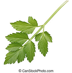 Celery - Chinese celery leaf isolated on white background