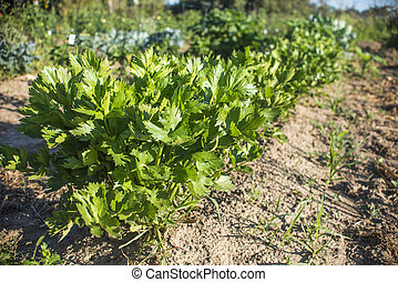 Celery plants growing on a garden - Organic vegetable garden...