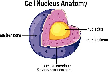 cell, anatomi, nucleus, diagram