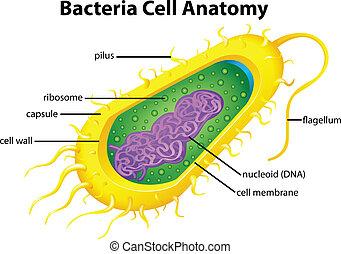 cell, bakterie, struktur