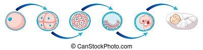 cell, diagram, nyfödd baby