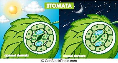 cell, diagram, växt, visande