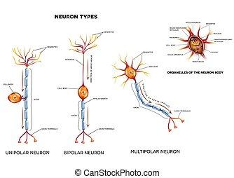 cell, nerv, organelles, slagen