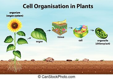 cell, planterar, organisation