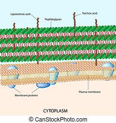 cell, positiv, bakterie-, gram, vägg