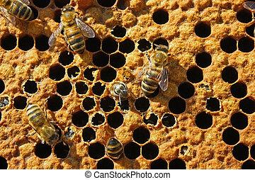 cell., salida, abeja
