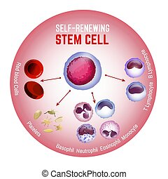 cell, self-renewing, stam