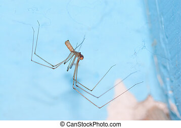 Cellar spider (Pholcus phalangioides) on the web