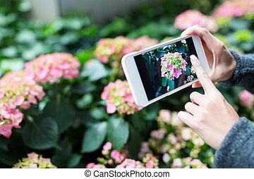 cellphone, femme, jardin, photo, hortensia, prendre, utilisation
