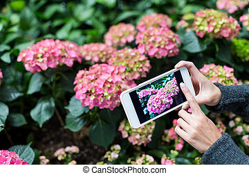 cellphone, femme, photo, hortensia, prendre, utilisation