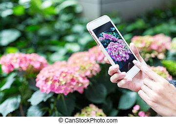 cellphone, prendre, femme, hortensia, photo