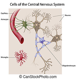 Cells of the brain - Neurons and glial cells of the CNS,...