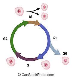 cellula, ciclo, eps8
