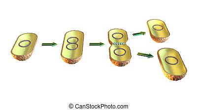 cellula, divisione, batterico