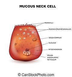 cellula, mucoso, collo