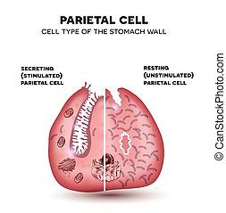 cellule, coloré, estomac, localisé, acid., dessin, glandes, gastrique, fond, sécrète, hydrochloric, mur, pariétal, beau, blanc