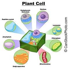 cellule, diagramme, plante, parties, projection