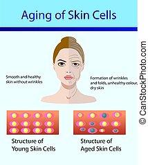 cellules, jeune, deux, peau, vieilli, types