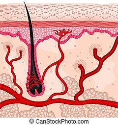 cellules, peau humaine
