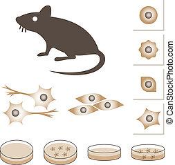 cellules, souris