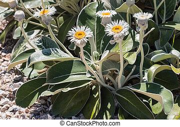 New Zealand mountain daisy flowers in bloom