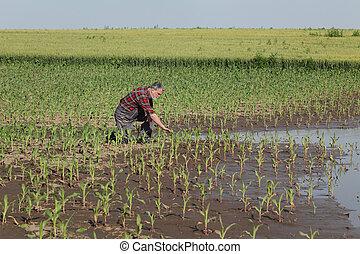 cena, campo, inundação, agrícola, milho, após, agricultor