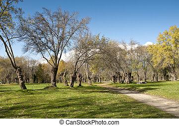 ceniza, arboleda, árbol
