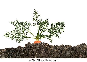 cenoura, em, solo