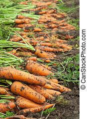 cenouras, colheita
