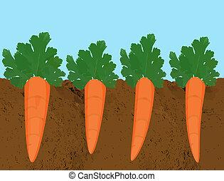 cenouras, crescendo, solo