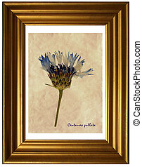 Centaurea pullata in herbarium - Herbarium from pressed and ...