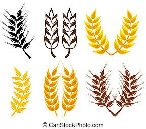 centeio, trigo, orelhas