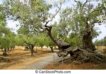 centennial olive trees from Mediterranean Mallorca