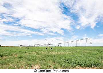 Center pivot irrigation system in a lucerne field