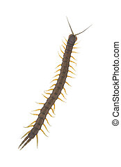 An isolated to white image of a long Centipede climbing