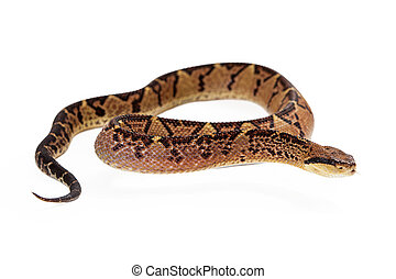 Central American Bushmaster Snake Looking To Side - Lacheiss...
