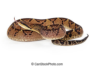 Central American Bushmaster Snake With Tongue Out